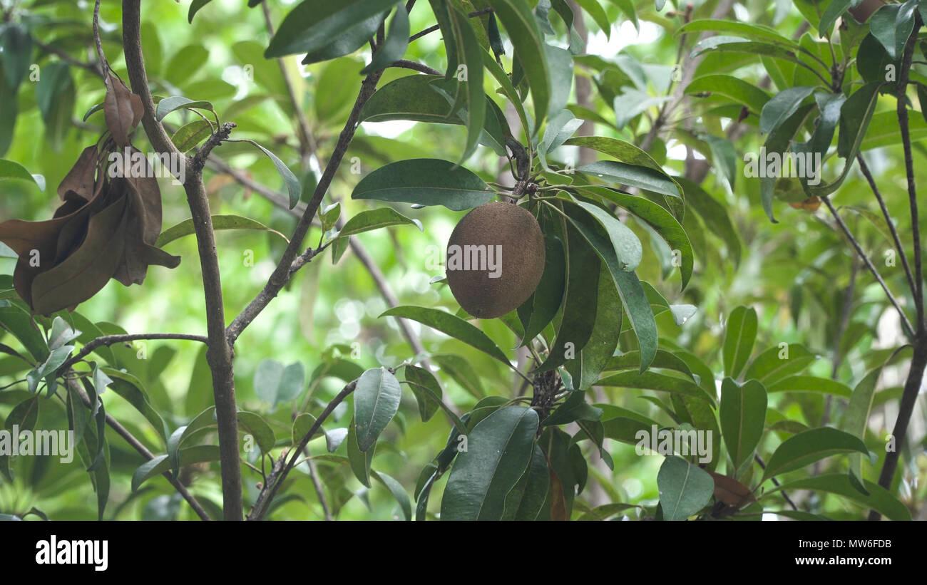 les kiwis sur la branche d'un arbre dans un jardin tropical. les