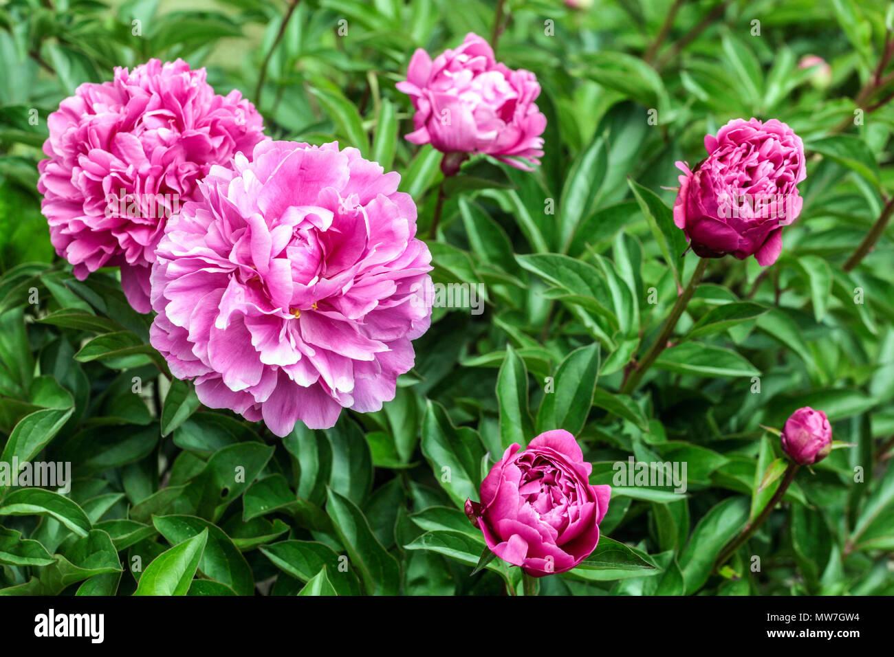 La pivoine. Paeonia lactiflora ' Attar of roses, pivoines ' Photo Stock