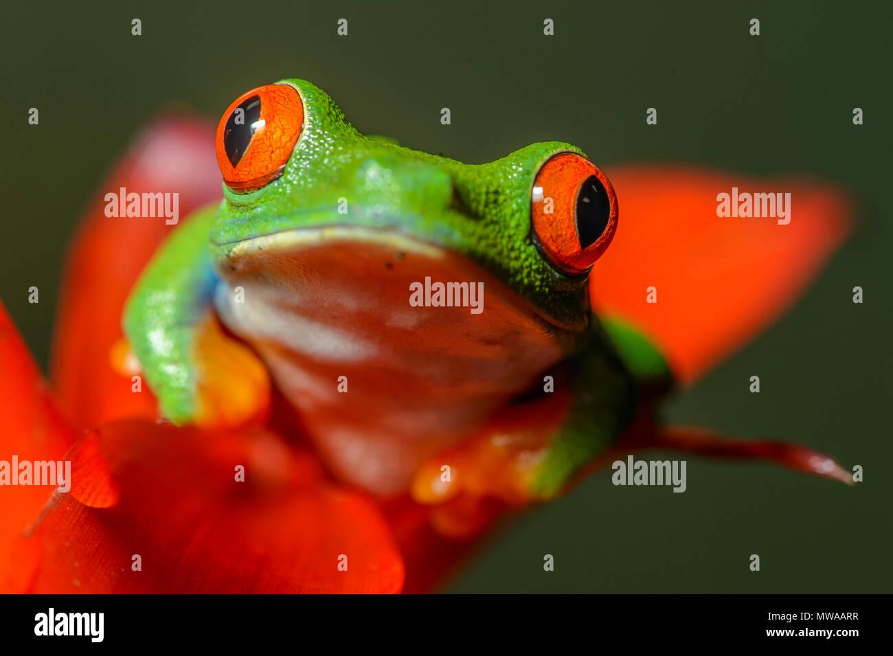La Rainette aux yeux rouges (agalychnis callidryas), captive, reptile zoo Reptilia, Vaughan, Ontario, Canada Banque D'Images