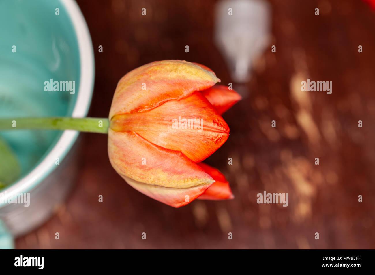 Tulip Photo Stock
