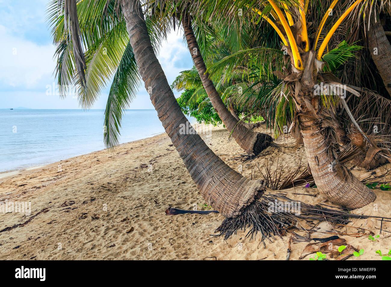 Coconut île de Koh Samui en Thaïlande. Photo Stock