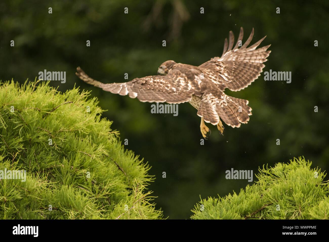 Un jeune cerf rouge (Buteo jamaicensis) tient son tout premier vol, c'était un court voyage mais indéniablement voler. Photo Stock
