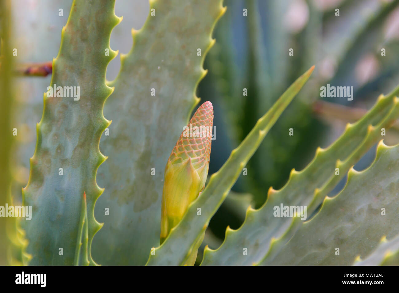 Detail De Fleur D Aloe Vera Banque D Images Photo Stock 187998790