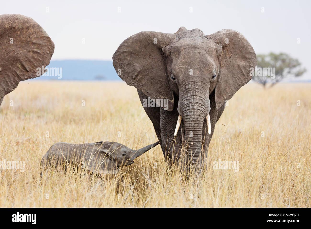 Bébé éléphant africain et sa mère (Loxodonta africana), le Parc National du Serengeti, Site du patrimoine mondial de l'UNESCO, la Tanzanie, l'Afrique de l'Est, l'Afrique Photo Stock