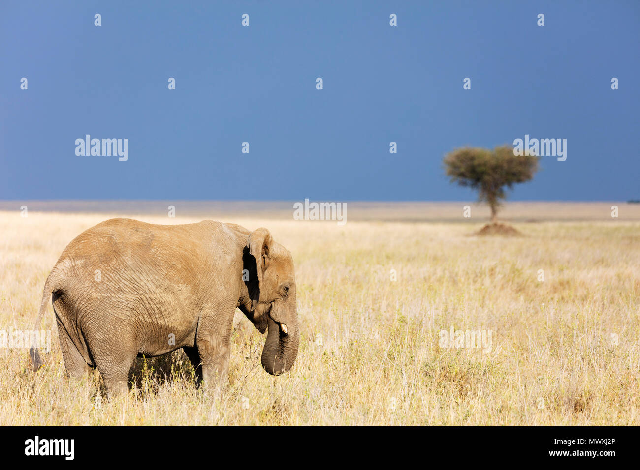 L'éléphant africain (Loxodonta africana), le Parc National du Serengeti, Site du patrimoine mondial de l'UNESCO, la Tanzanie, l'Afrique de l'Est, l'Afrique Photo Stock