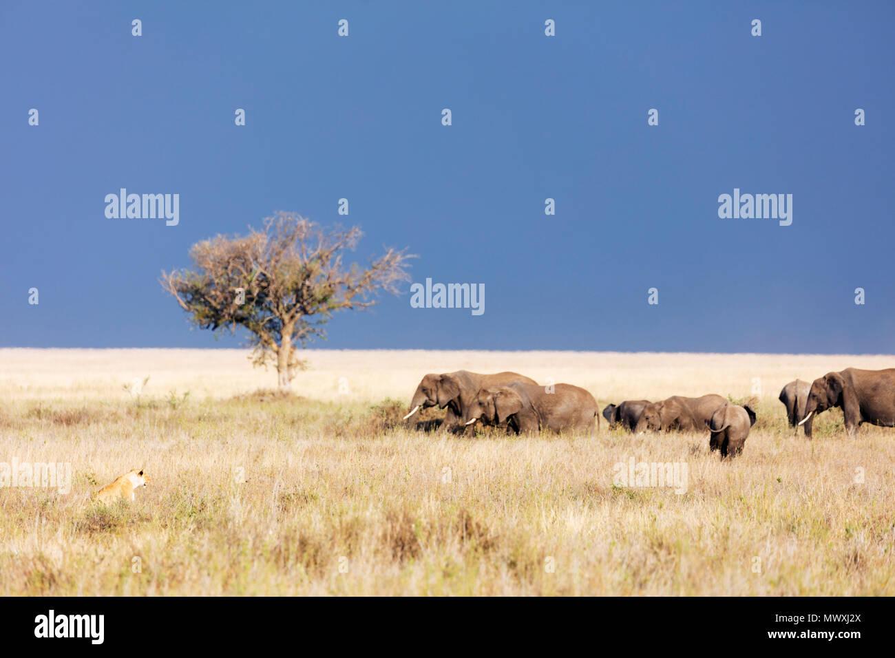 Lioness (Panthera leo) et l'éléphant africain (Loxodonta africana), le Parc National du Serengeti, Site du patrimoine mondial de l'UNESCO, la Tanzanie, l'Afrique de l'Est, l'Afrique Photo Stock