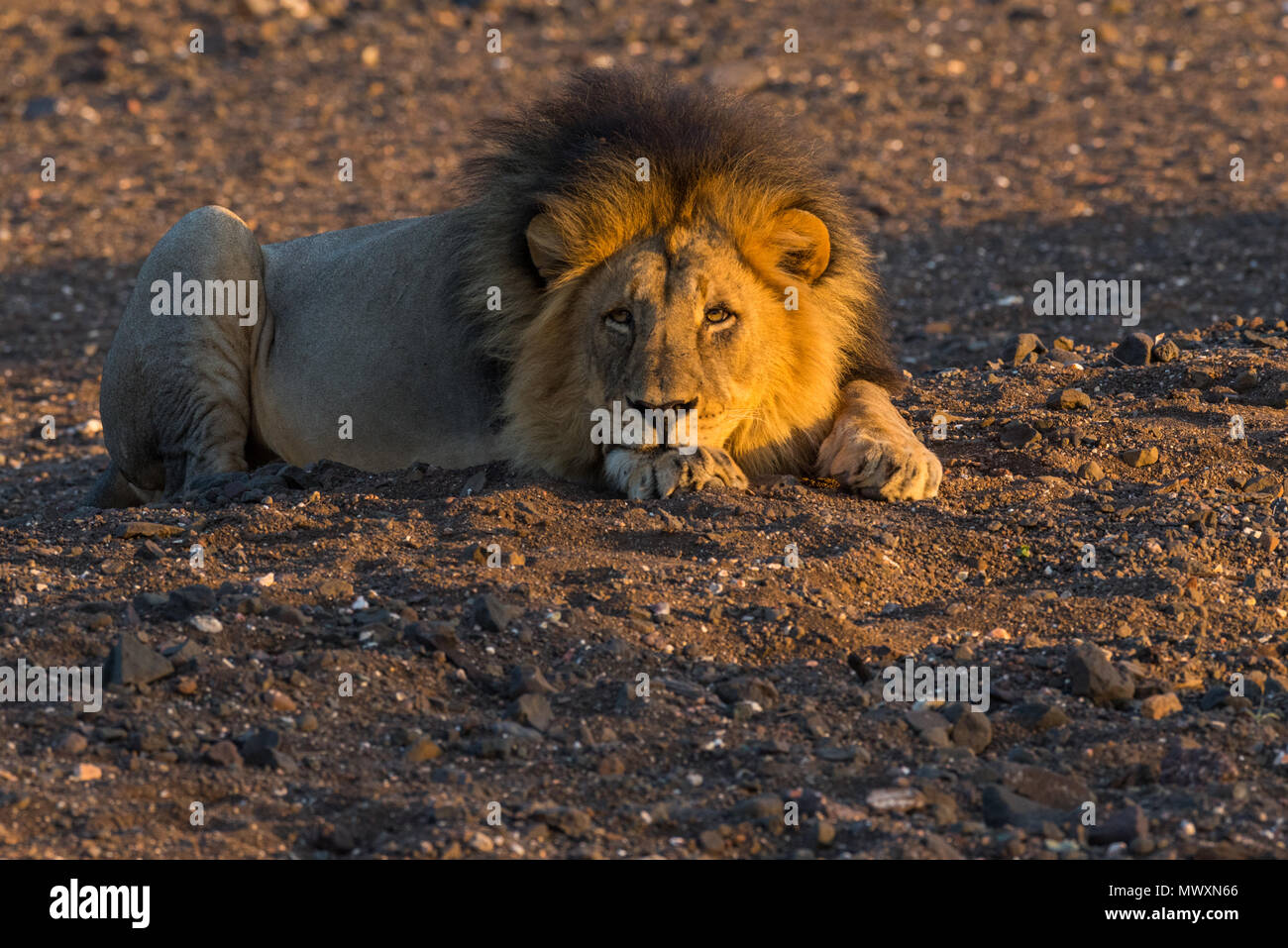 African Lion à crinière noire mâle à Mashatu Botswana Banque D'Images