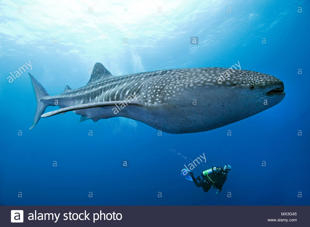 Scuba Diver regardant un requin-baleine (Rhincodon typus), plus grand poisson de l'île Cocos, monde, Costa Rica, Amérique Centrale, Amérique Latine Photo Stock