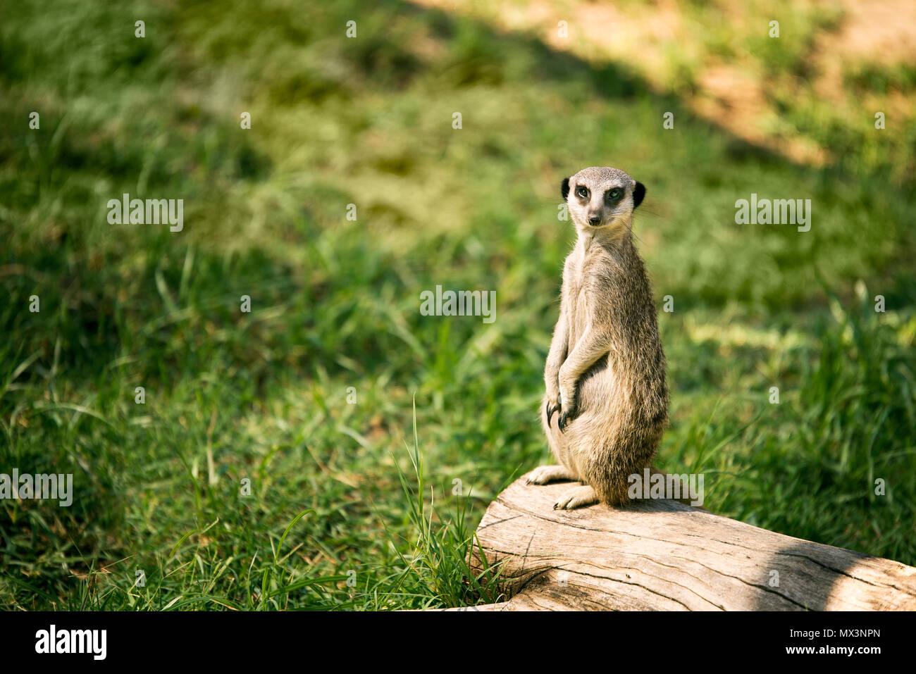 Un meerkat sur une montre dans un pré et à la recherche à l'appareil photo. Photo Stock