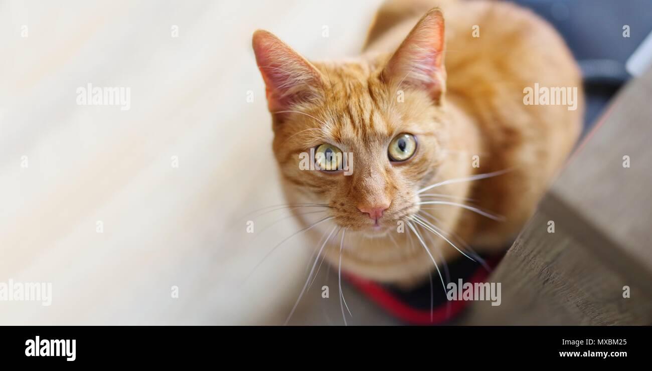Cute cat gingembre à la curieux au-dessus de l'appareil photo. Photo Stock