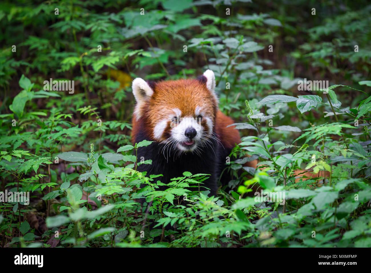 Portrait d'un adorable petit panda , Ailurus fulgens , fire fox entouré de plantes dans la forêt Photo Stock