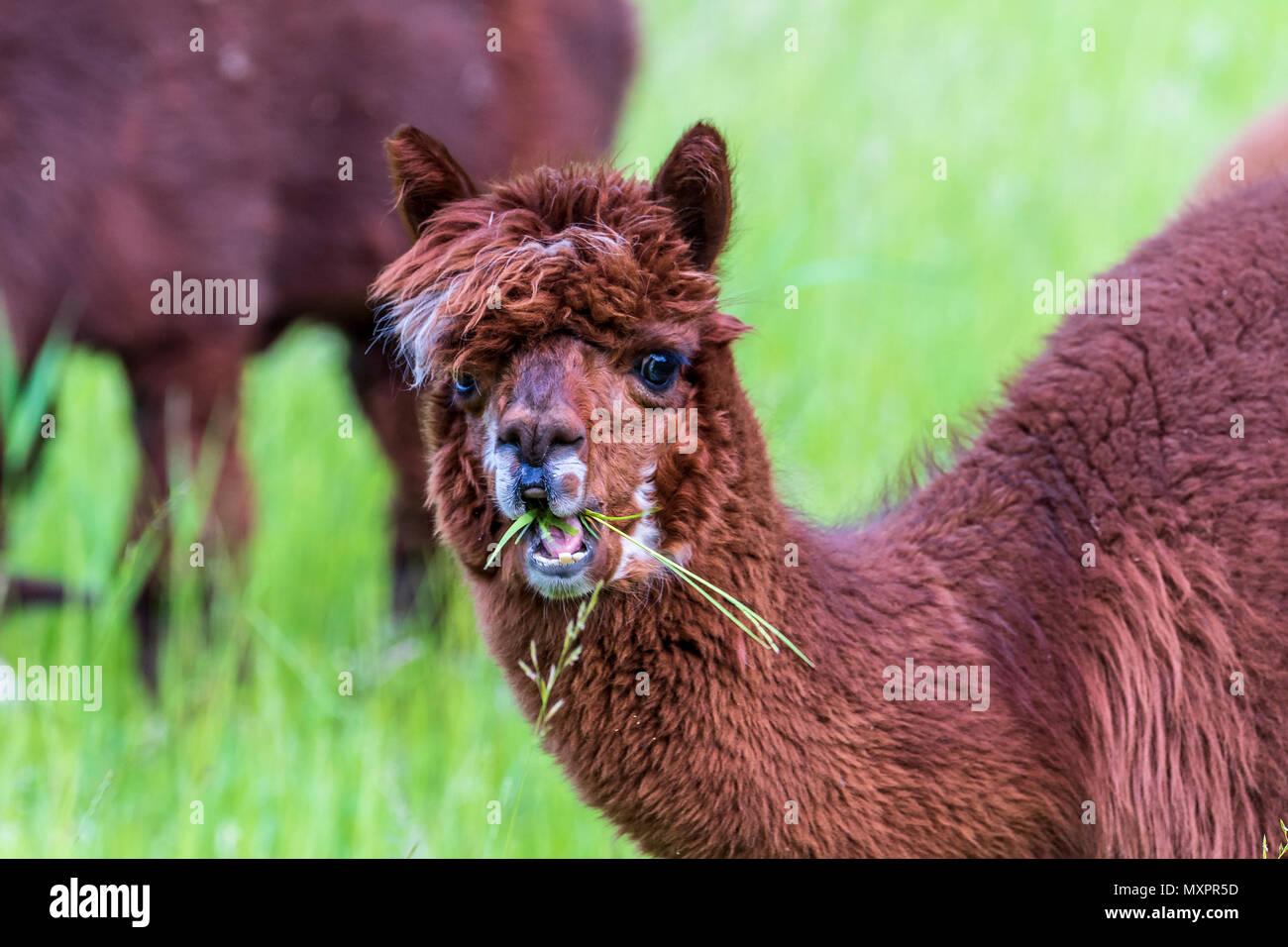 Les lamas dans le champ, les camélidés sud-américains Photo Stock