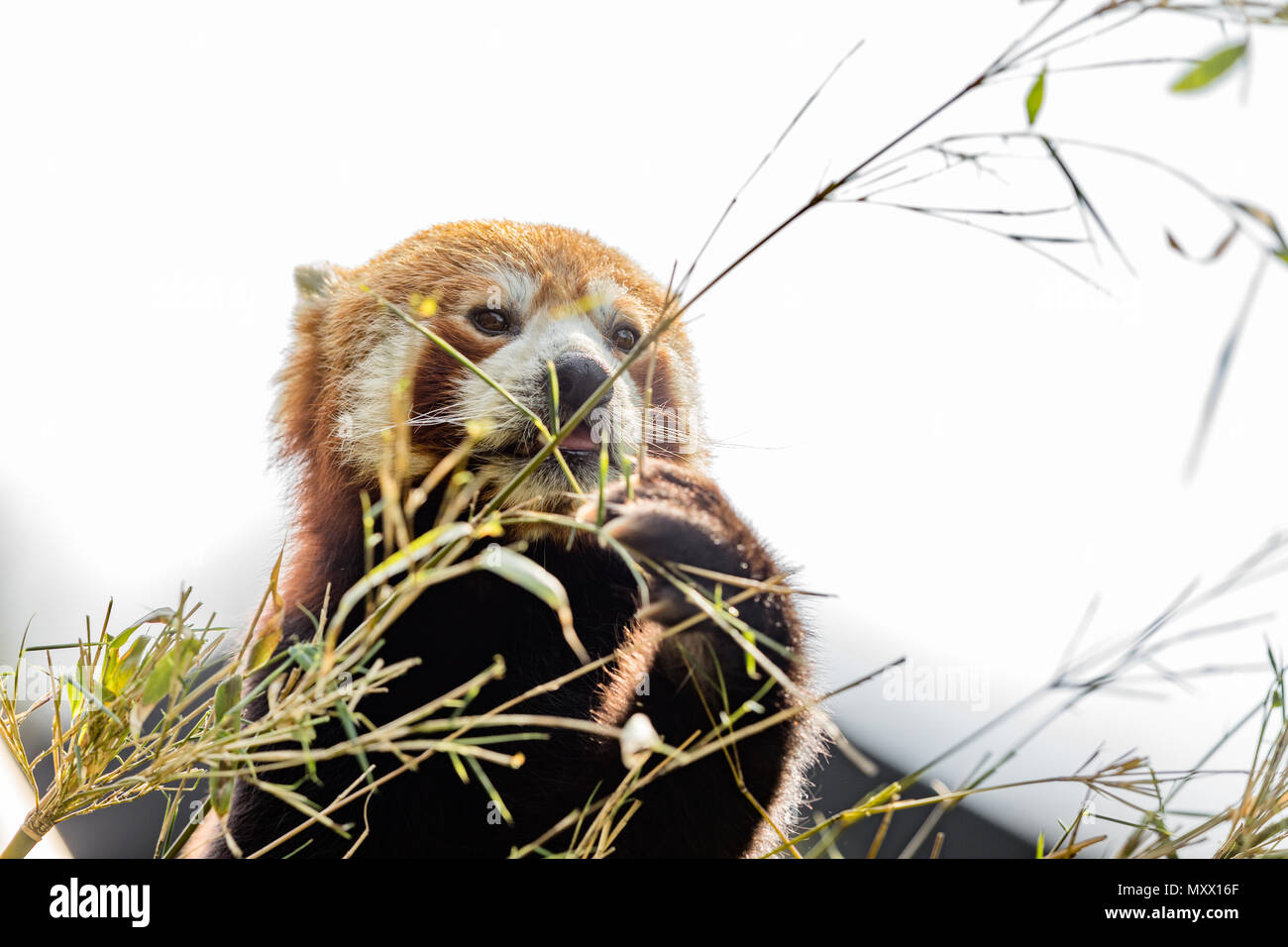 Cute animal, un ours panda rouge de manger du bambou, tout en tenant une branche de bambou avec ses pattes. Fond de Ciel clair Photo Stock