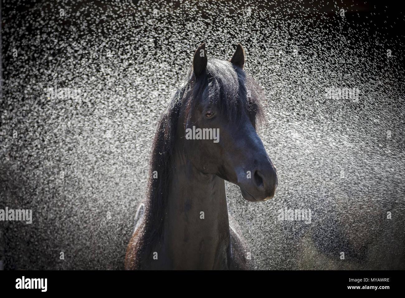 Paso Fino. Portrait de l'étalon noir au cours du lavage. Allemagne Banque D'Images