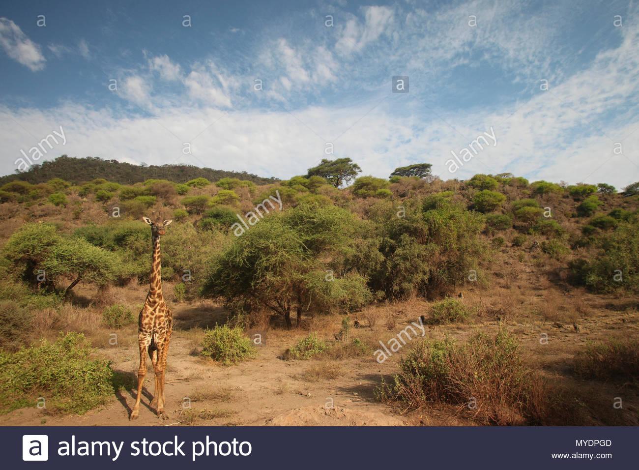 Masai UNE Girafe (Giraffa camelopardalis) tippelskirchii. Photo Stock