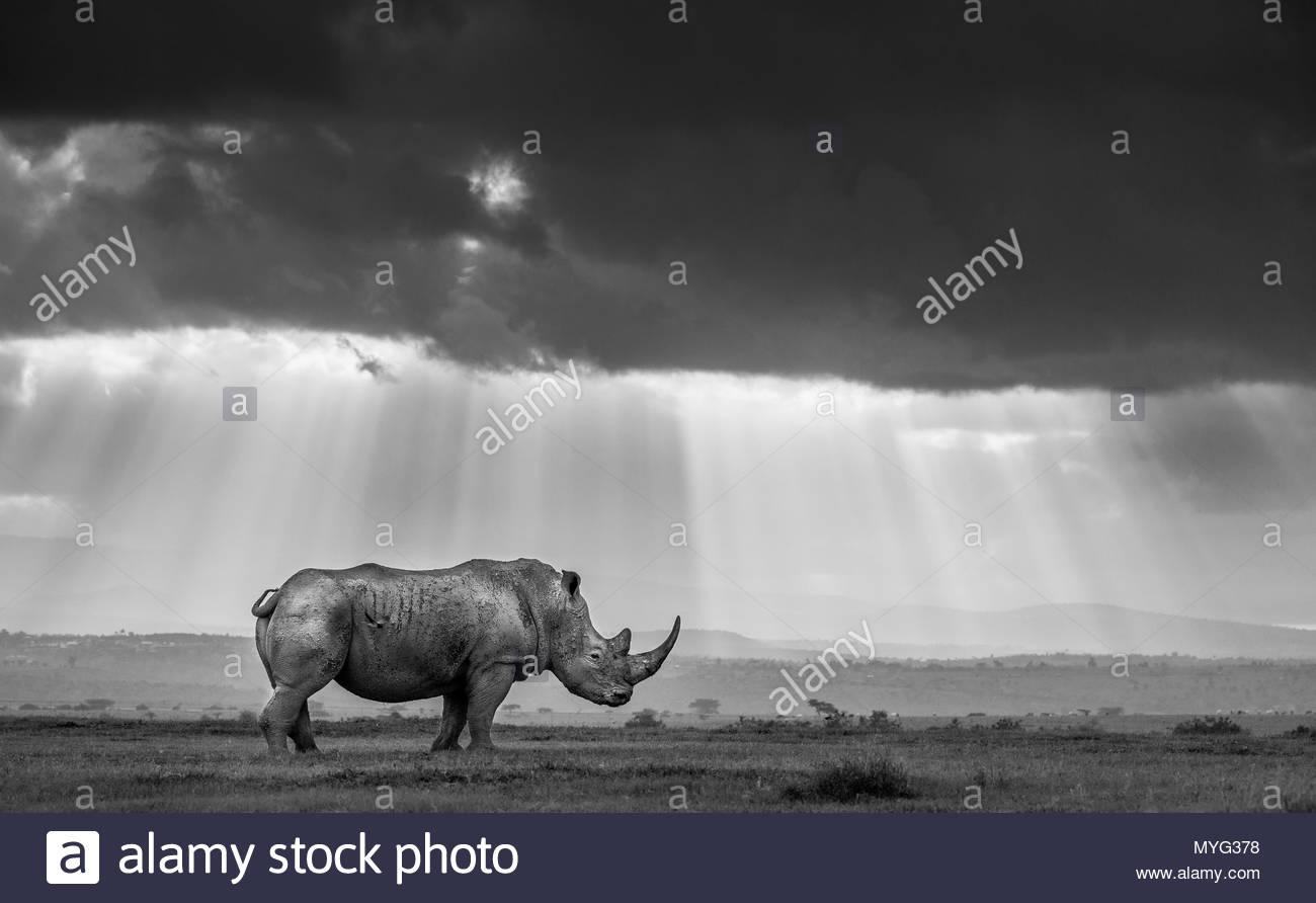 Un rhinocéros blanc du sud est baigné de rayons de lumière du soir comme de sombres nuages masquent le soleil mourant dans Rhino Sanctuary Solio. Photo Stock