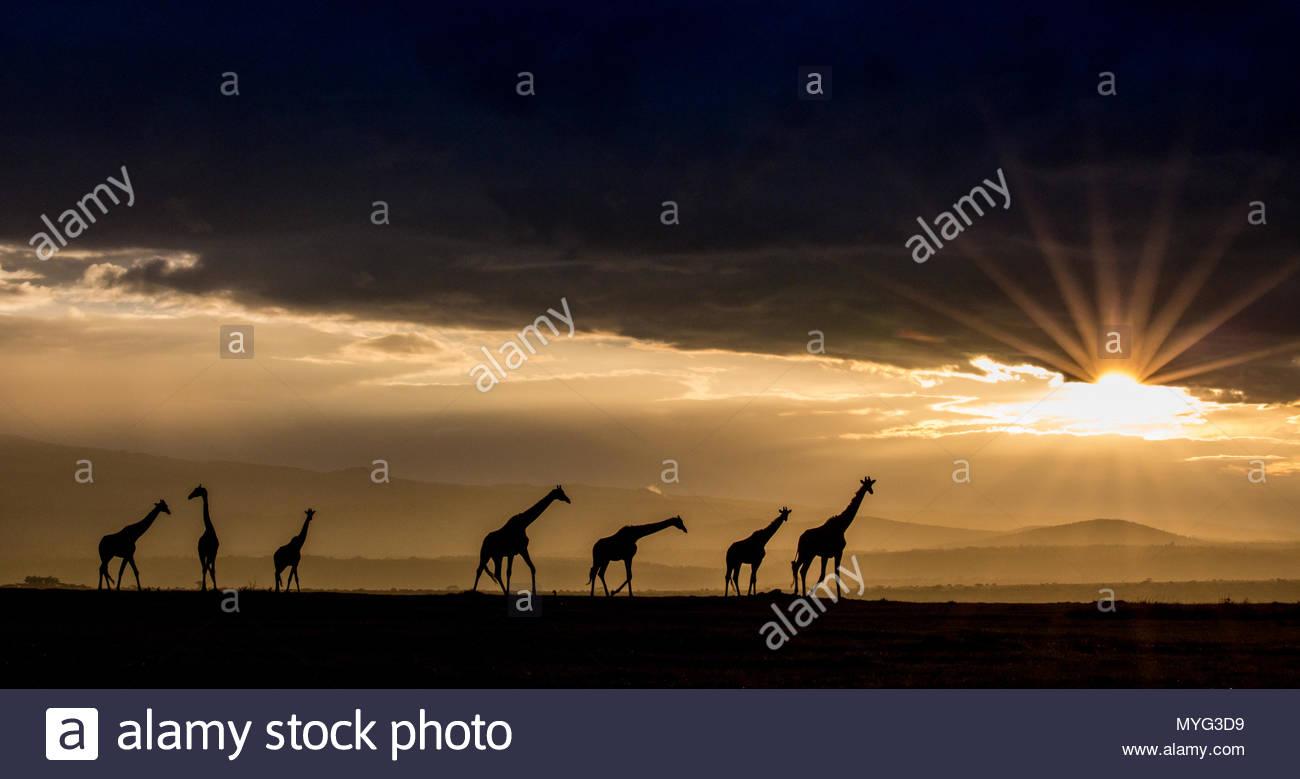 Les Girafes réticulée qui se profile comme le soleil se moque en dessous d'une couche de nuages au coucher du soleil. Photo Stock