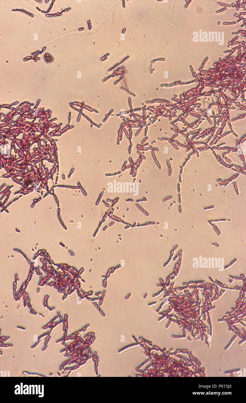 La bactérie Escherichia coli Banque D'Images