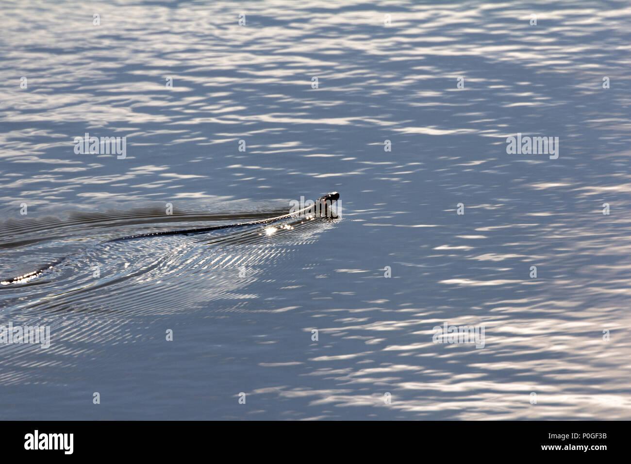 Serpent flottant, Couleuvre à collier (Natrix natrix) avec deuxième titre est serpent d'eau il est bon nageur. Il nage se tortiller sur l'ensemble de son corps, se tortille un serpent Photo Stock