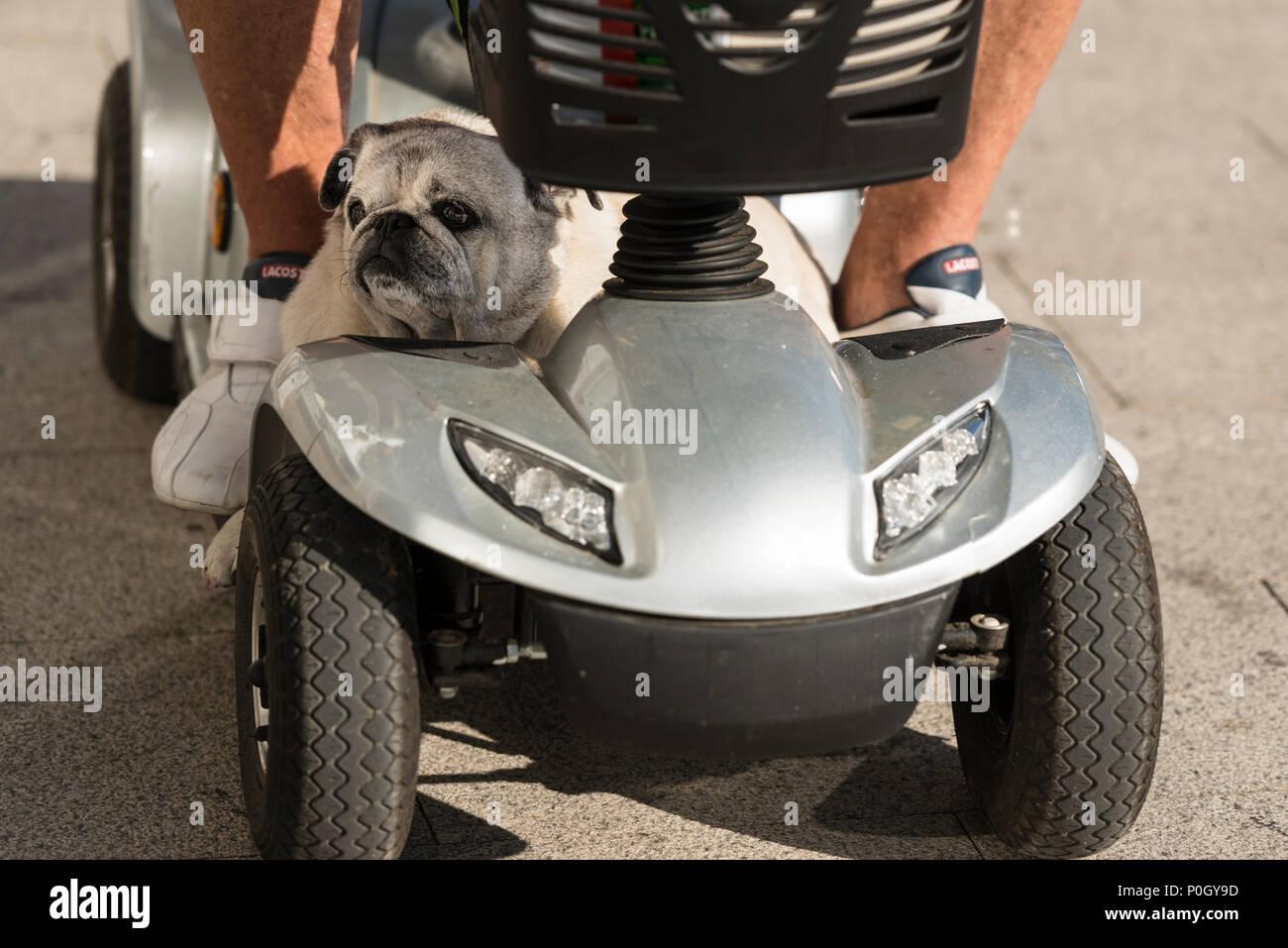 Son une vie de chien! Un chien équestre sur le scooter de mobilité du propriétaire. Le propriétaire, un homme âgé a accepté d'être photographiés. Vigo, Espagne Photo Stock
