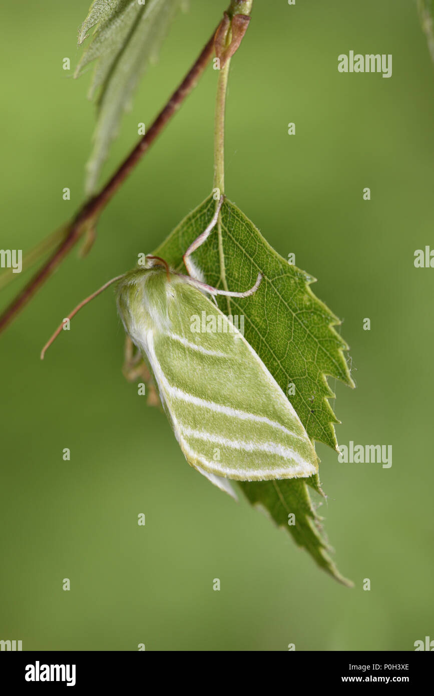 Argent vert-lines - Pseudoips prasinana Photo Stock