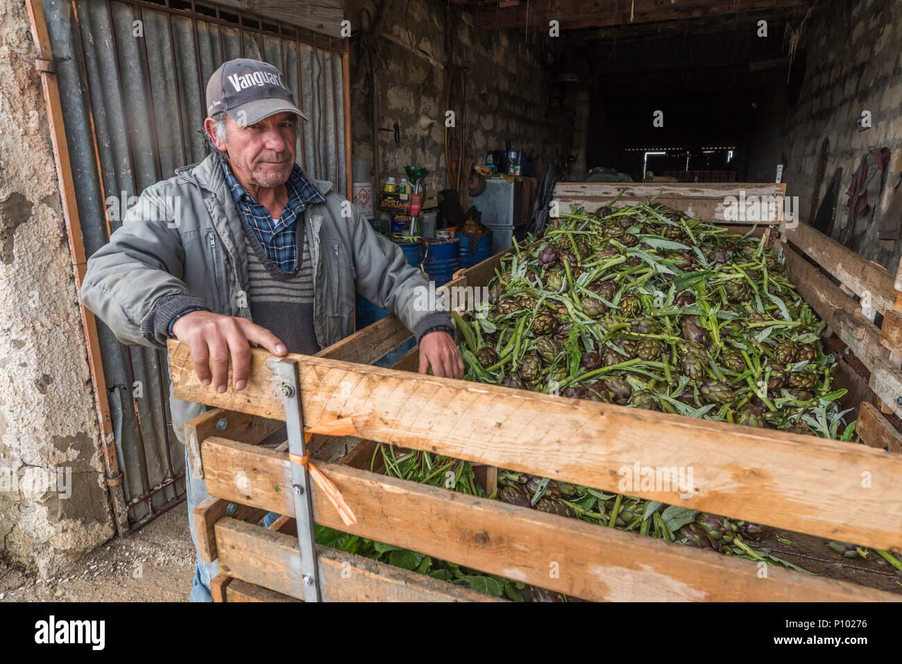 La récolte d'artichaut, Menfi, Sicile, Italie Photo Stock