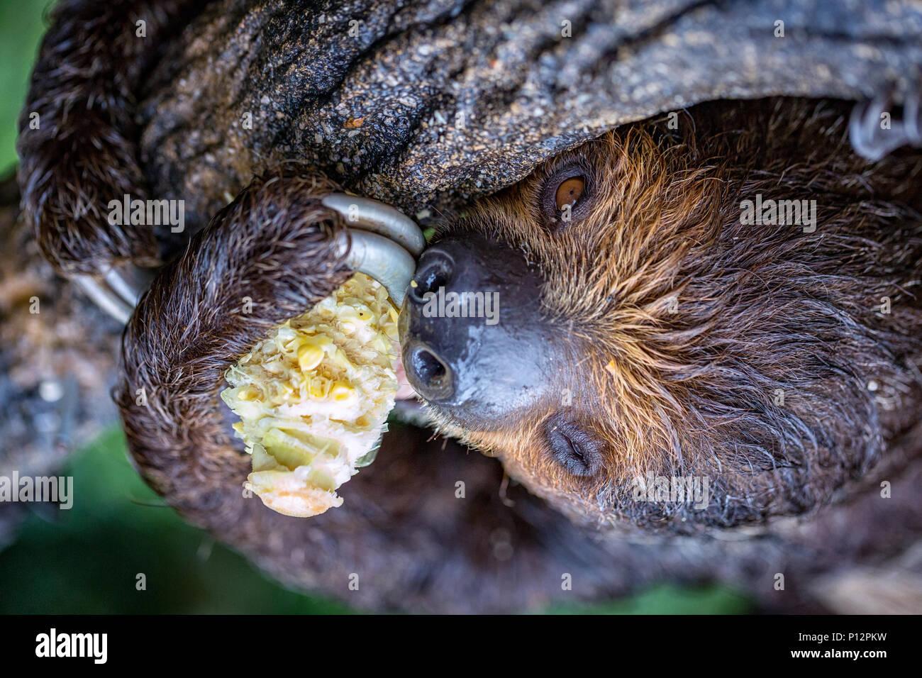 Megalonychidae; (deux-toed sloth), Zoo de Singapour, Singapour Photo Stock