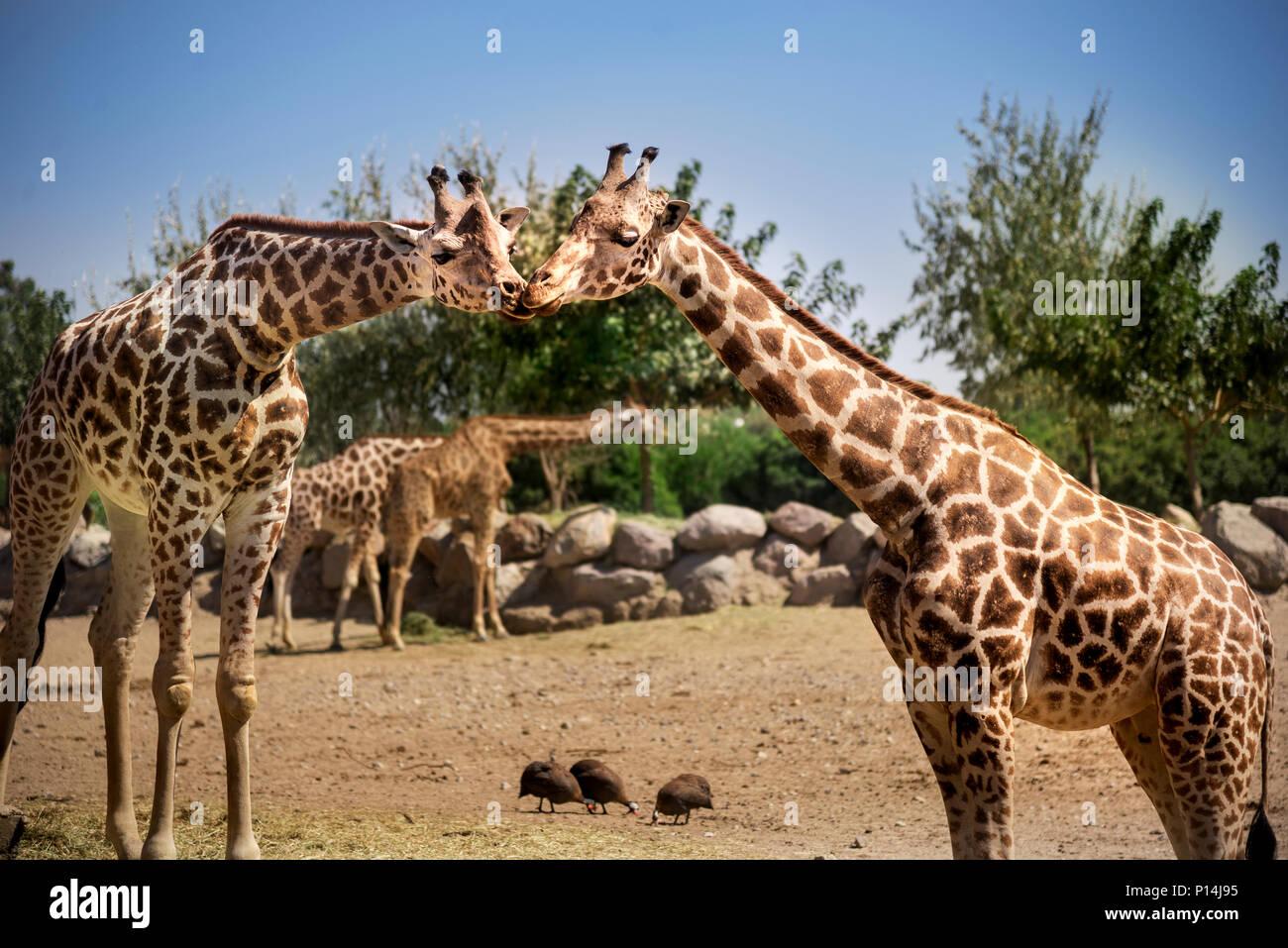Deux girafes qui s'embrassent dans le zoo. Banque D'Images