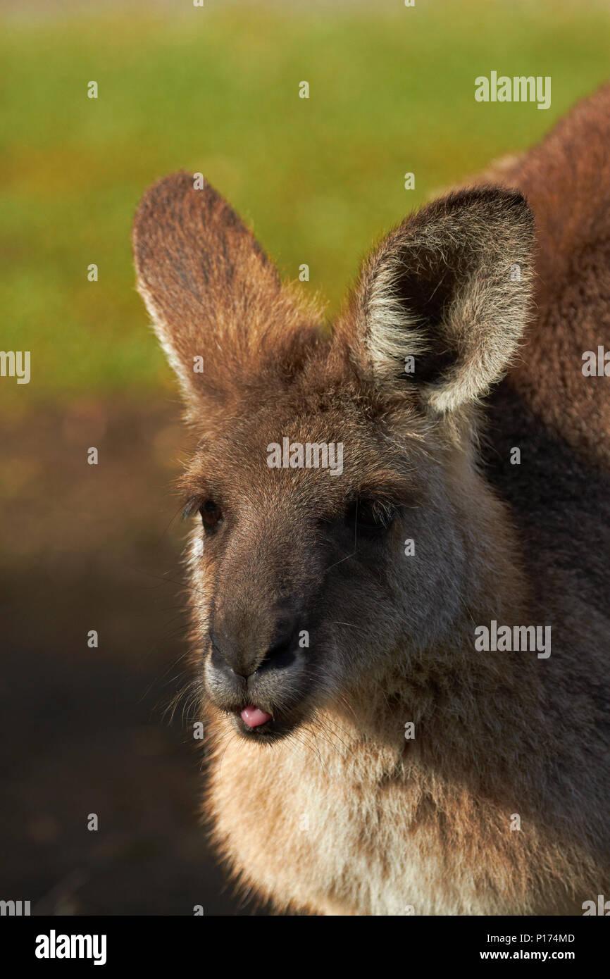 Le kangourou gris (Macropus giganteus), l'Australie Photo Stock