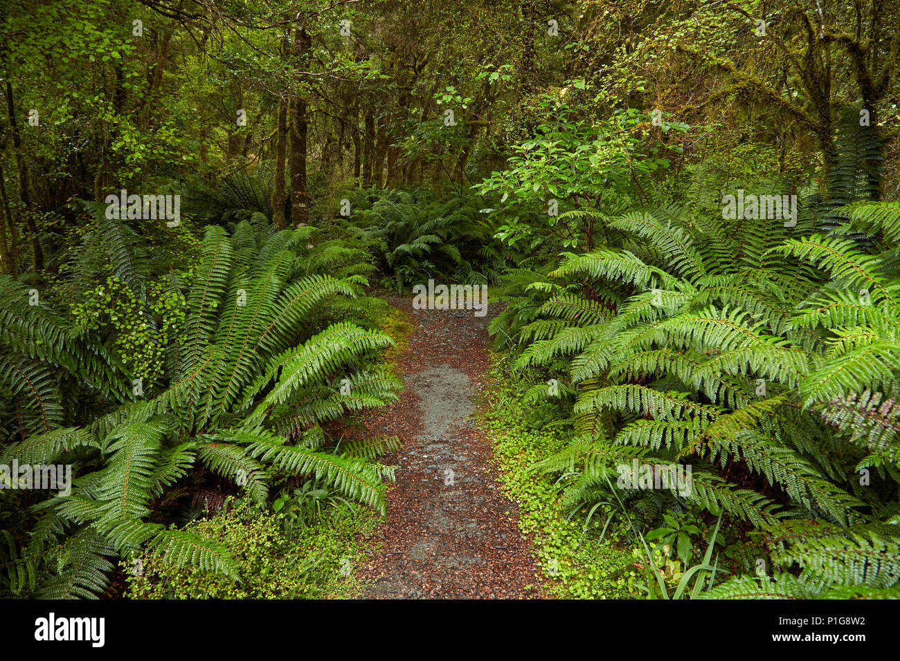 Bush à pied, agréable appartement, Haast Pass, Mt aspirant National Park, West Coast, South Island, New Zealand Photo Stock