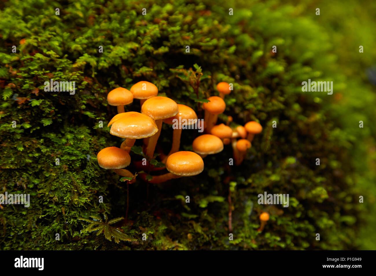 Les champignons, télévision agréable à pied bush, Haast Pass, Mt aspirant National Park, West Coast, South Island, New Zealand Photo Stock