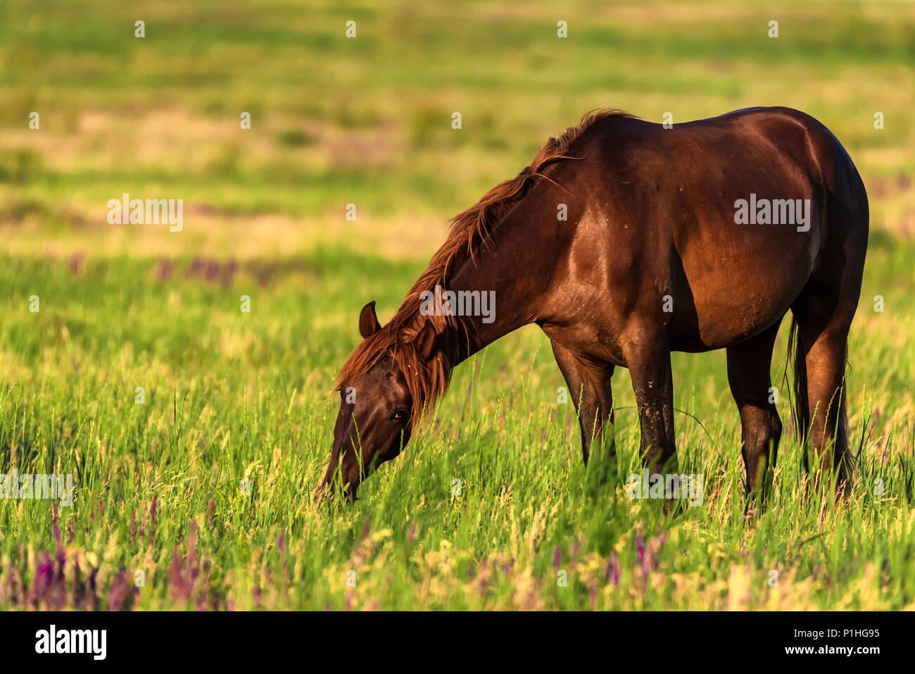 Wild horse broute dans la prairie ensoleillée Photo Stock