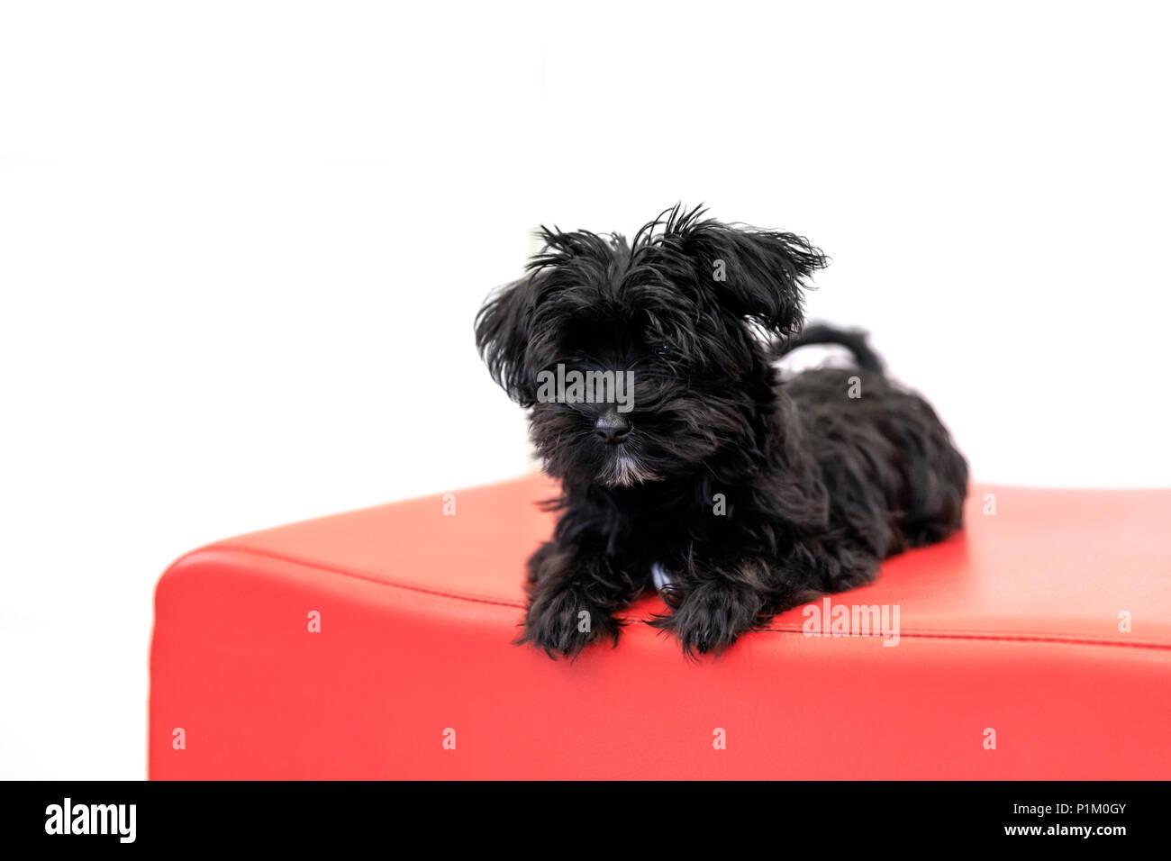 chien chiot noir yorktese sur veil canap rouge et pr t. Black Bedroom Furniture Sets. Home Design Ideas