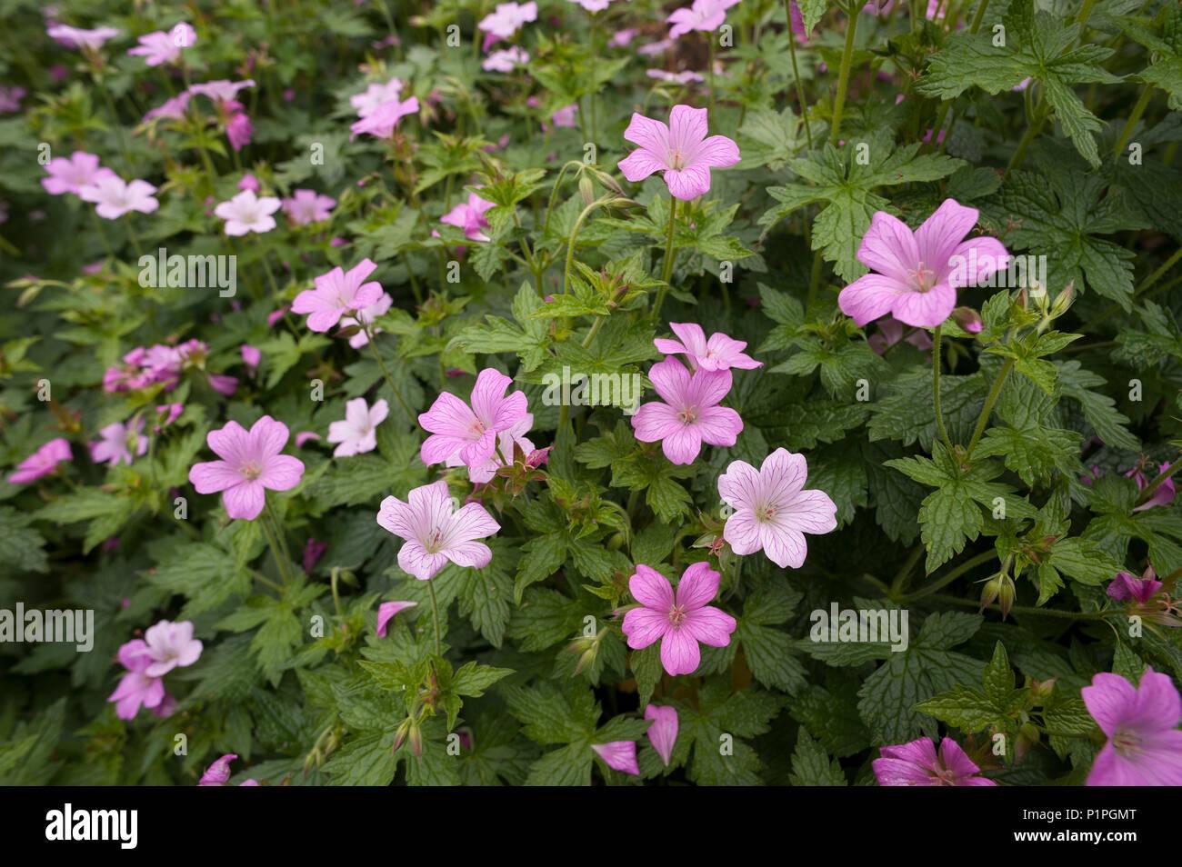 Grappe de fleurs mauve clair rose géraniums plantes avec ...
