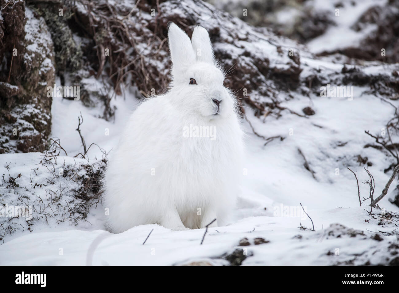 Lièvre arctique (Lepus arcticus) dans la neige ; Churchill, Manitoba, Canada Photo Stock