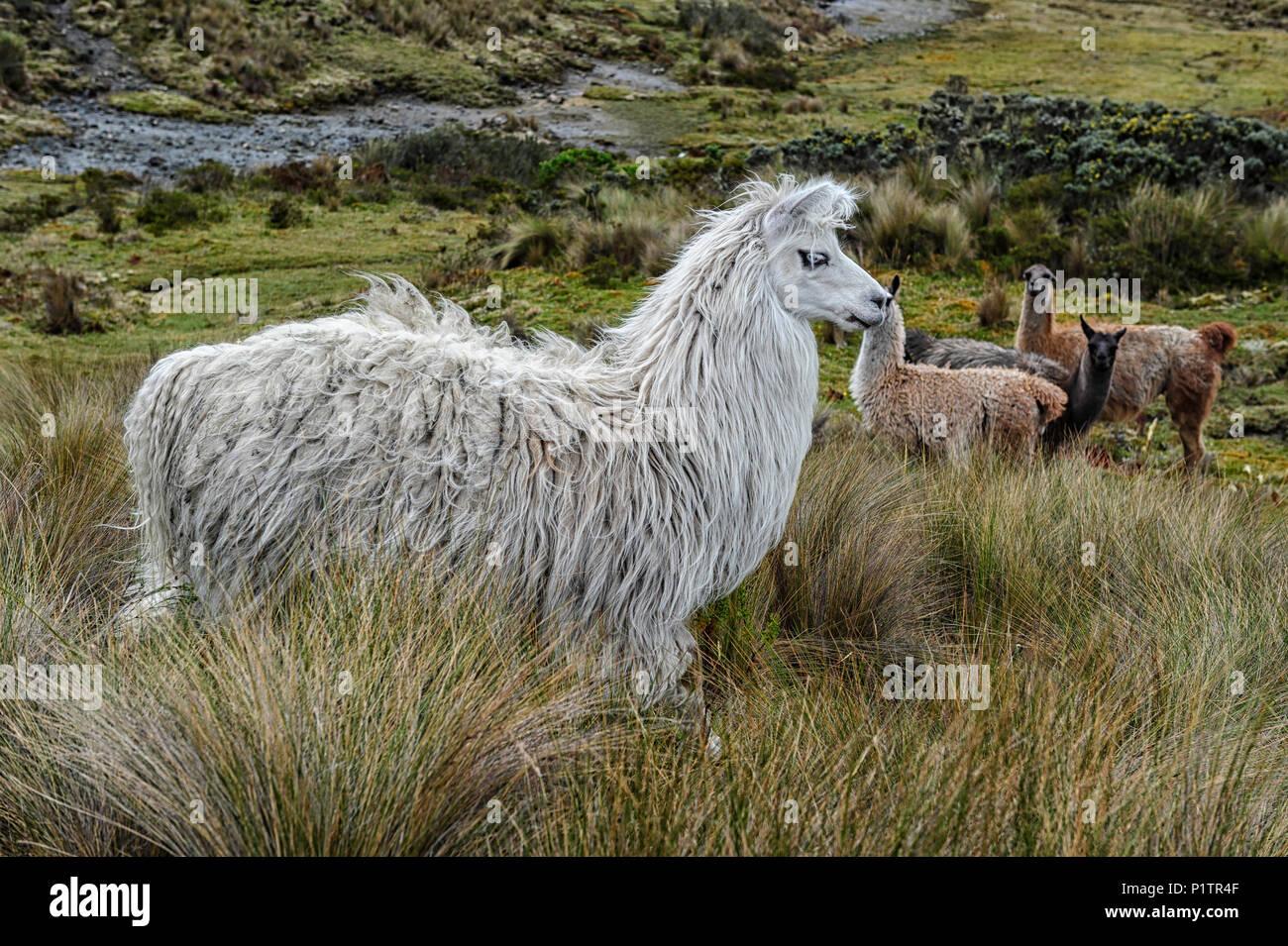 Les lamas et alpagas à theEl Cajas Parc National ou Cajas National Park est un parc national dans les hautes terres de l'Équateur. Photo Stock