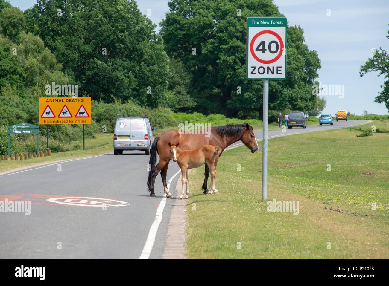 Nouvelle Forêt poneys, de la mère et de l'ânon, sur la route à proximité de Godshill Fordingbridge, Hampshire, Royaume-Uni Photo Stock