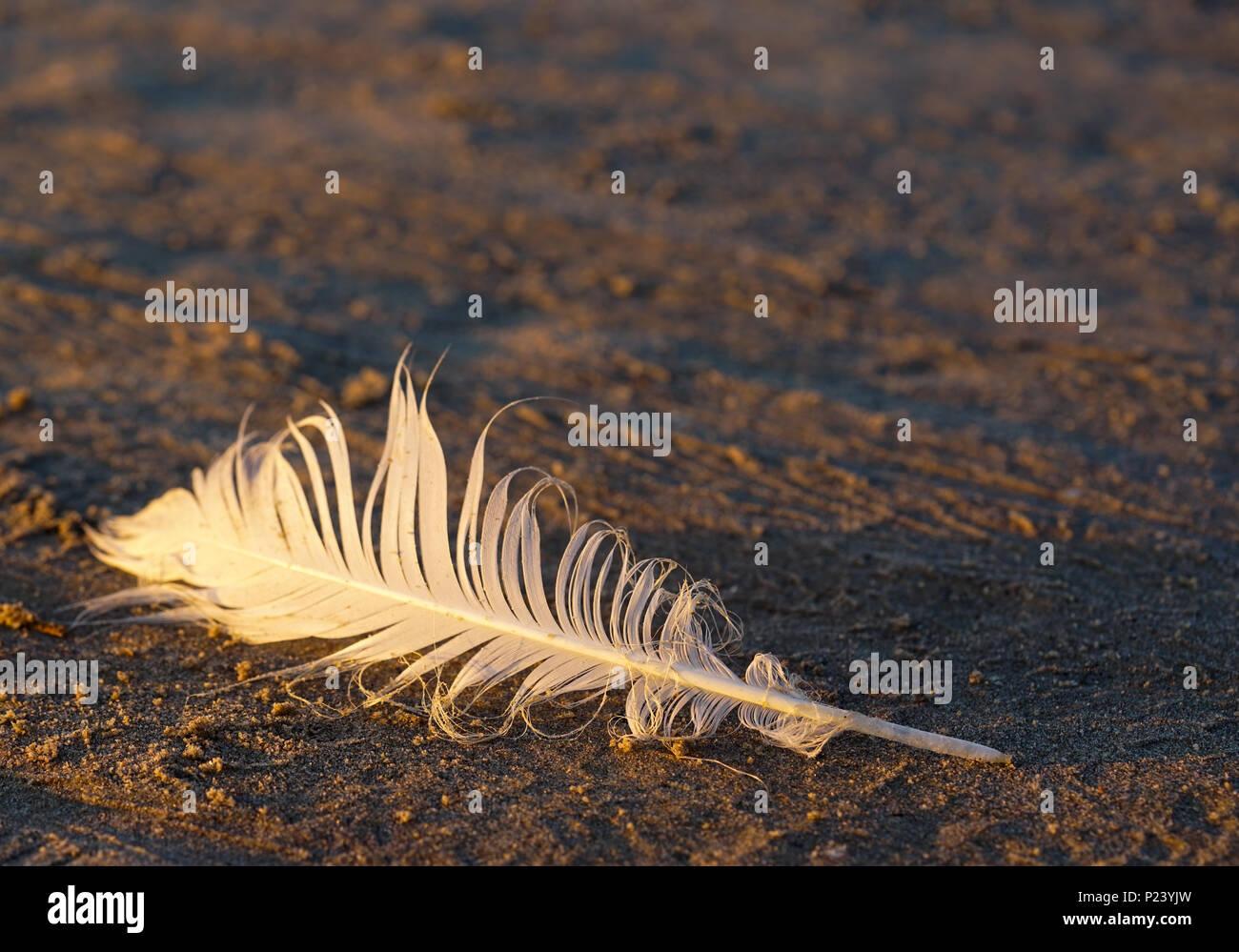 Plume d'oiseau dans le sable au bord de la mer Photo Stock