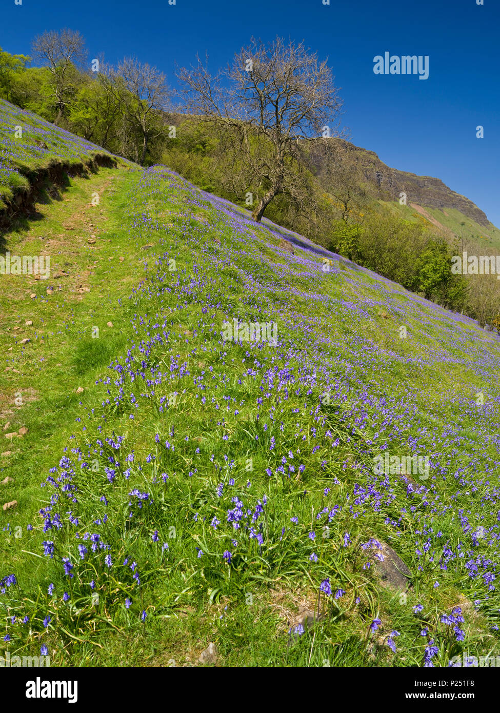L'Irlande du Nord, d'Antrim, Glenariff Forest Park, un essor Bluebells sur les pâturages de montagne, hêtres et holms, Banque D'Images