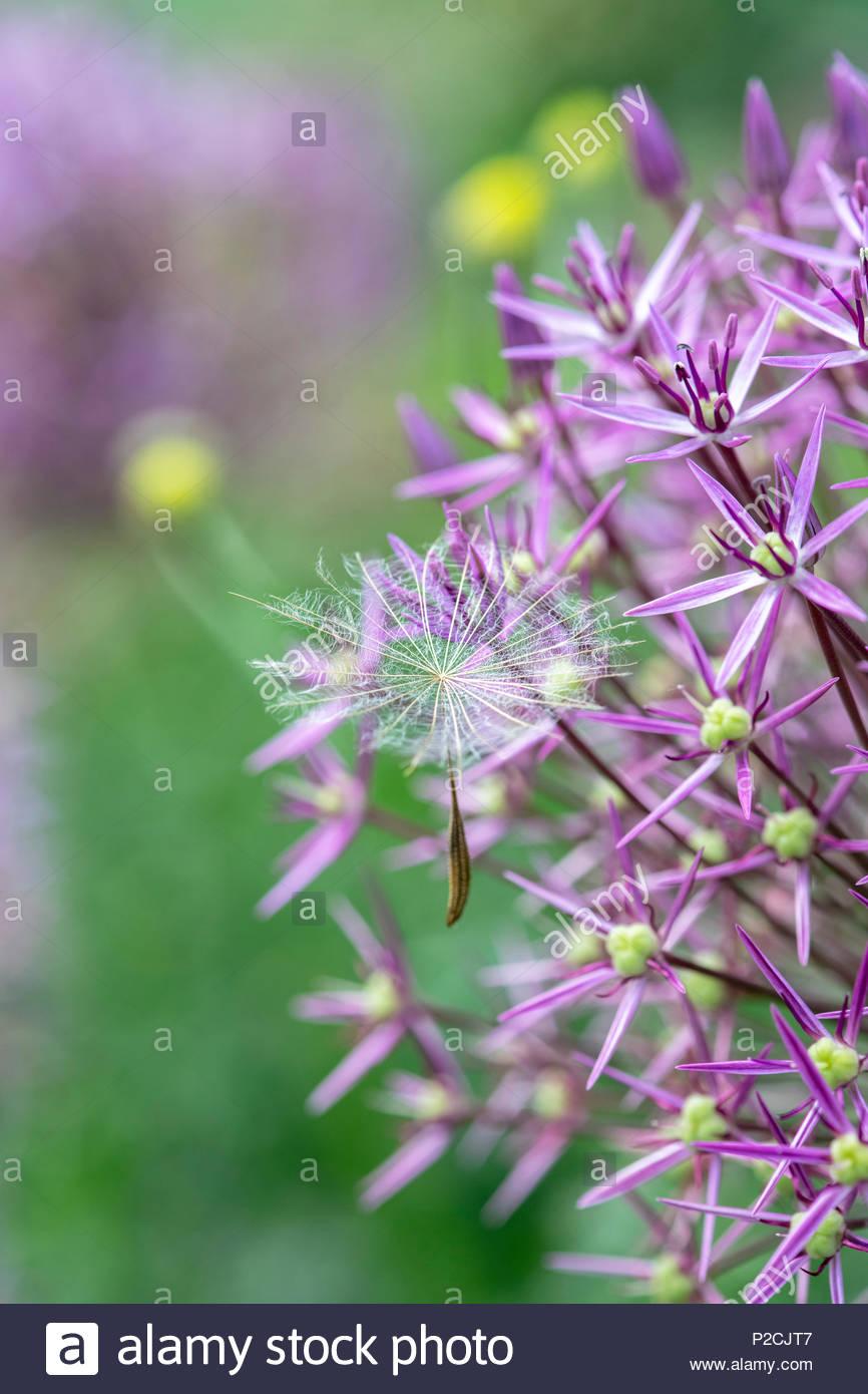tragopogon pratensis graines de fleurs salsifis des pr s. Black Bedroom Furniture Sets. Home Design Ideas