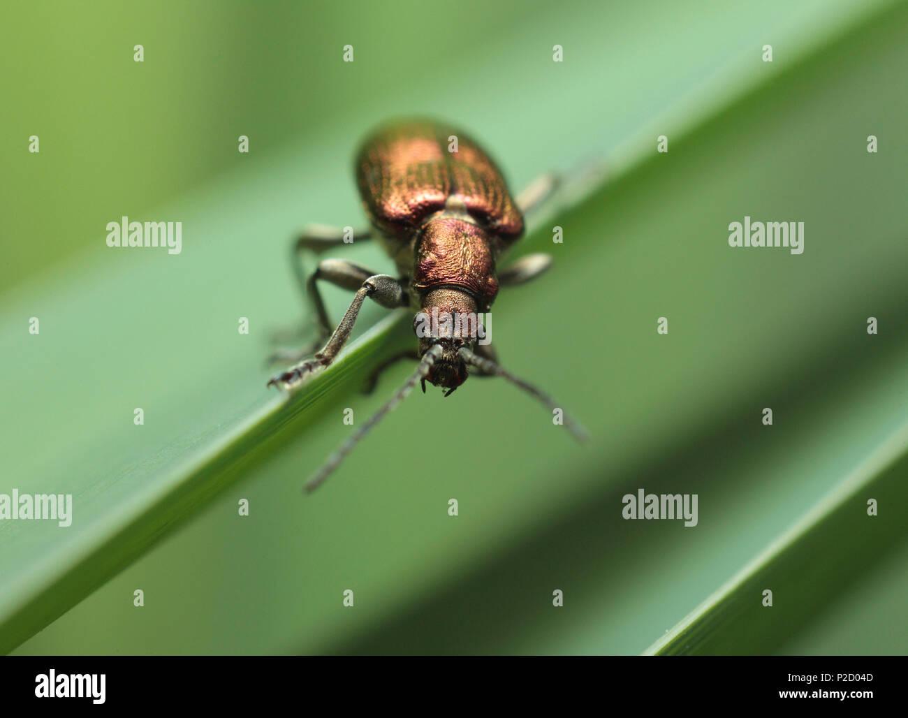 Un roseau beetle (Donacia marginata) Banque D'Images