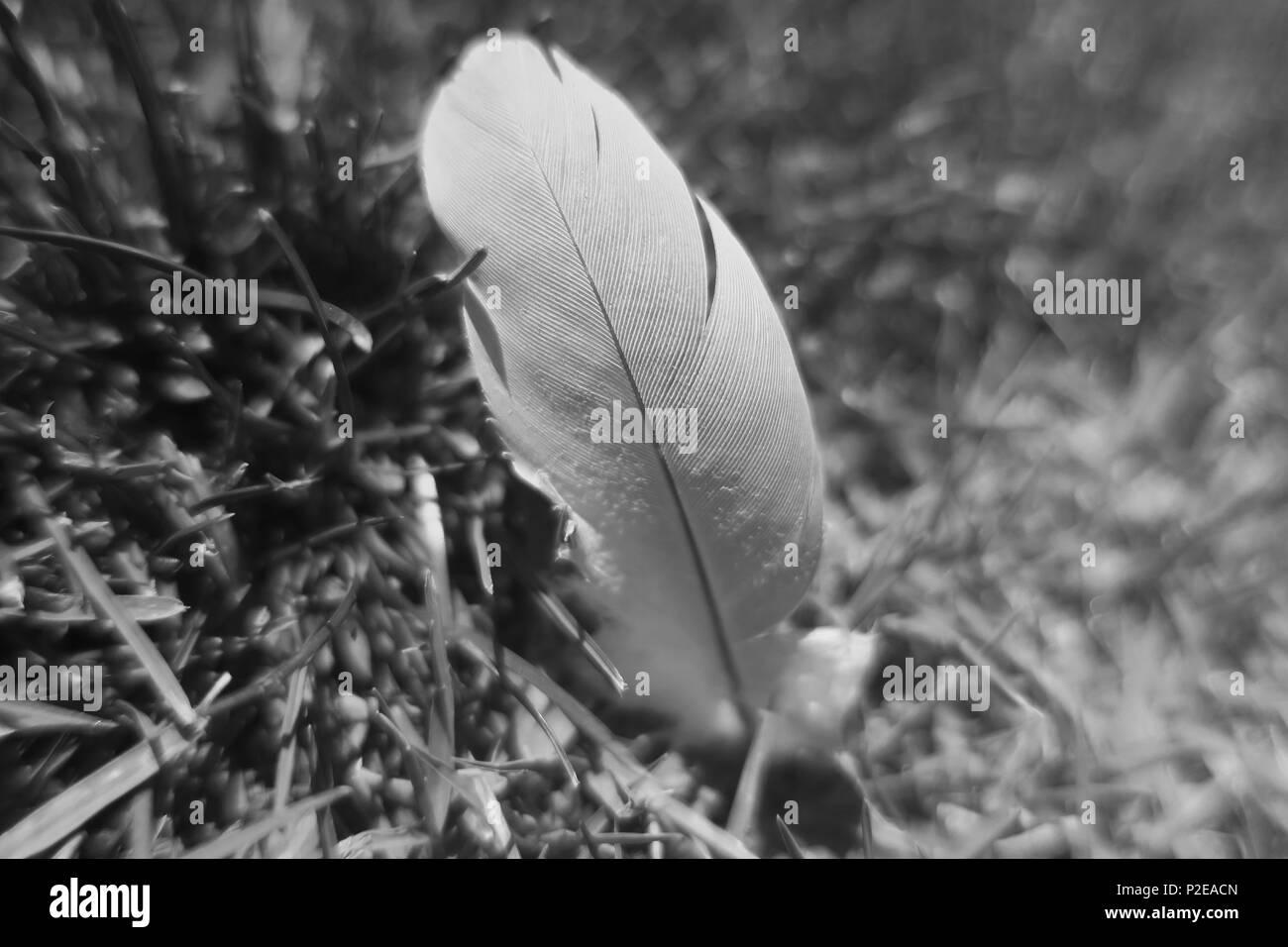 Une plume d'oiseau allongé dans l'herbe en noir et blanc. Photo Stock