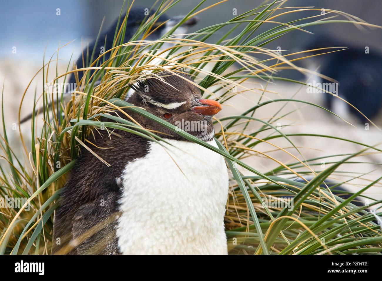 Rockhopper Penguin, Eudyptes chrysocome, Îles Falkland, îles subantarctiques, Amérique du Sud Photo Stock