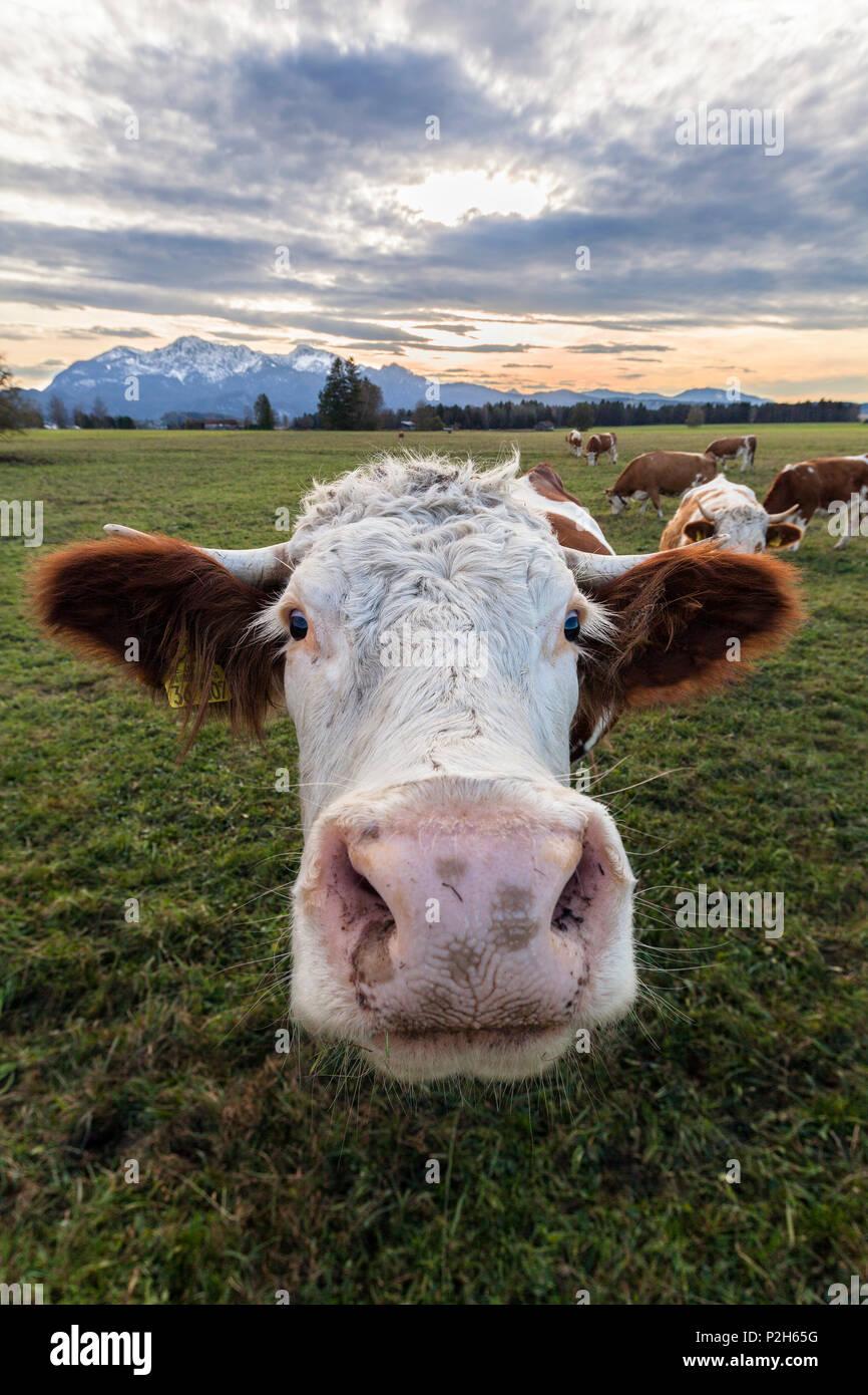 Vache, bovin, de Haute-bavière, Alpes, France, Europe Photo Stock