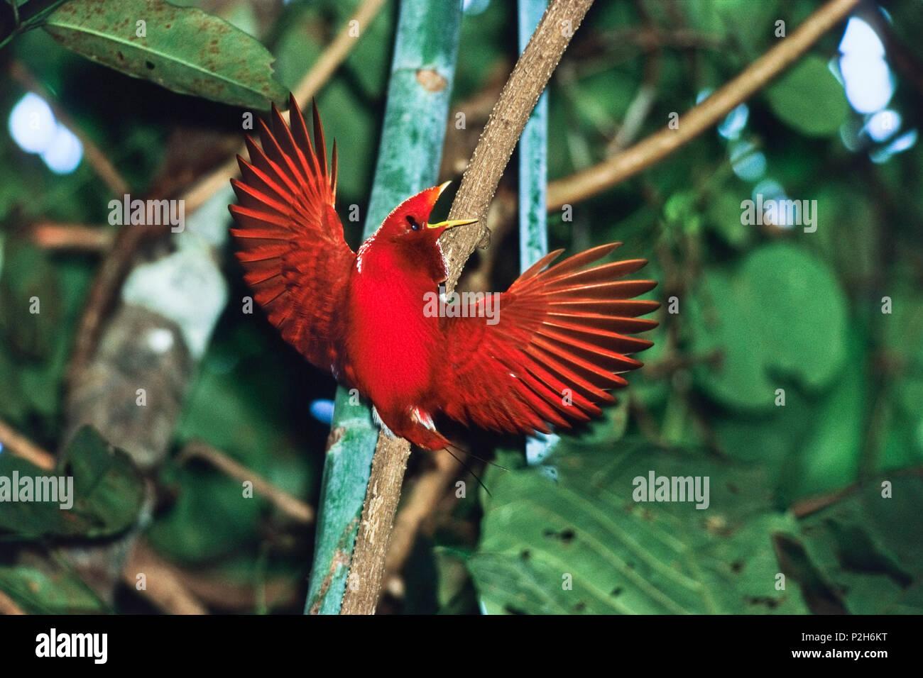 Le roi Oiseau du Paradis, homme, l'affichage, l'Cicinnurus regius, West-Papua, Irian Jaya, Nouvelle Guinée, Indonésie Photo Stock