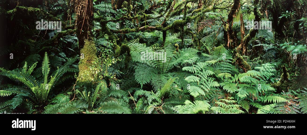 Forêt tropicale, le Parc Forestier de Catlin, Catlins, île du Sud, Nouvelle-Zélande Photo Stock