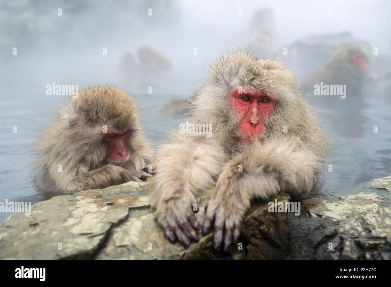 Snowmonkeys, macaques japonais dans le toilettage, Macaca fuscata, Alpes japonaises, le Japon Photo Stock