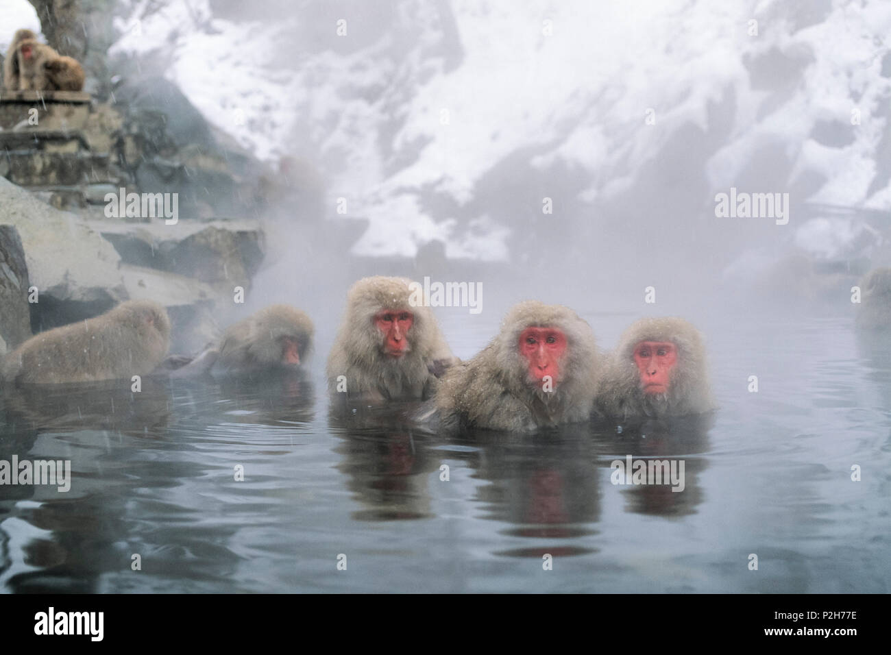 Snowmonkeys, macaques japonais Hot spring, Macaca fuscata, Alpes japonaises, le Japon Photo Stock