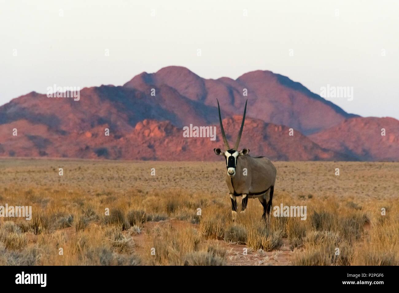 Gemsbok (Oryx gazella) dans le sud du désert du Namib, Sesriem, Namibie, région Hardap Photo Stock