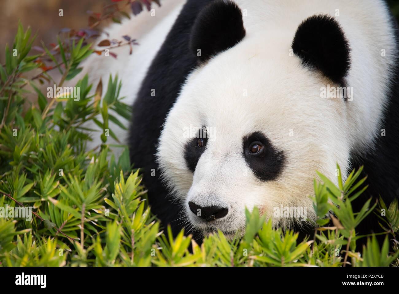 Un panda géant au zoo en Australie du Sud, qui est un de seulement deux pandas sur l'Australie. Pandas géants sont vulnérables à l'extinction dans la nature. Photo Stock